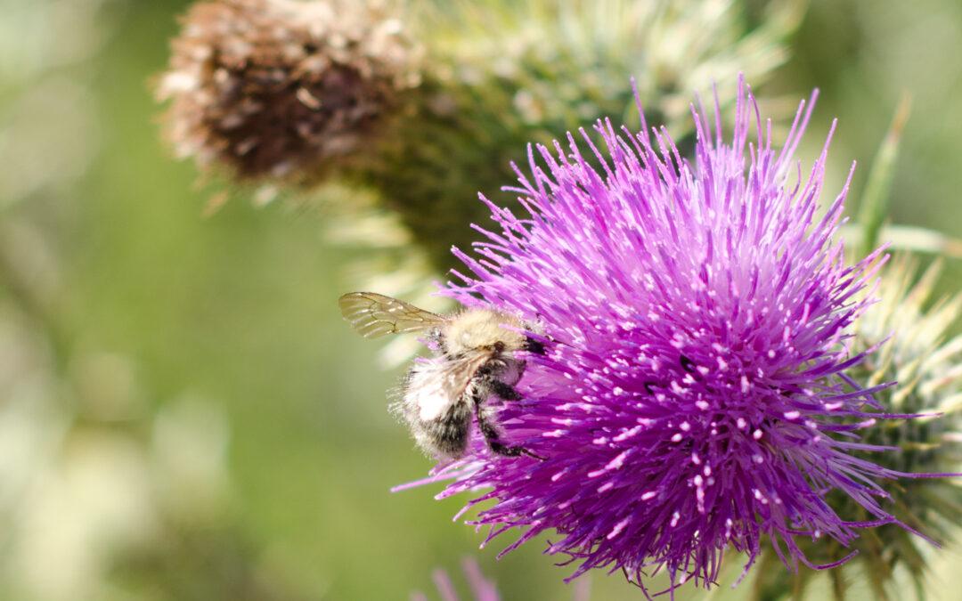 Eine Biene auf einer Diestelblüte